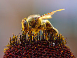 how to increase testosterone naturally, with bee pollen