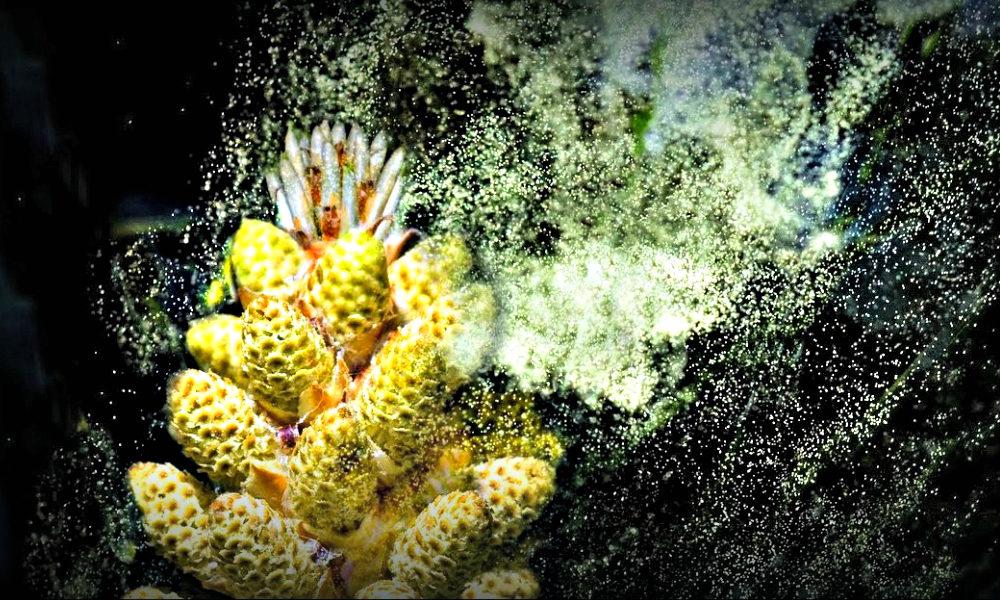 pine pollen testosterone