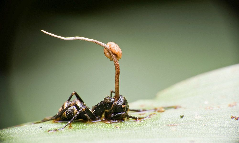 cordyceps growing from ant body