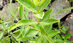 fadogia plant